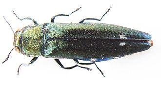 Buprestidae - Oak Splendour Beetle (Agrilus biguttatus) specimen (Agrilinae)