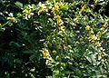 Agrimonia-eupatoria.JPG