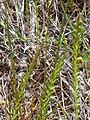 Agropyrum repens 2010-5-26 DehesaBoyaldePuertollano.jpg