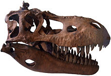 Skull replica of Albertosaurus, on display in the Geological Museum in Copenhagen