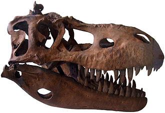 Albertosaurus - Skull cast at the Geological Museum in Copenhagen