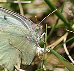 Albino Female Orange Sulphur, Megan McCarty57.jpg