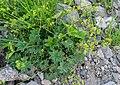 Alchemilla inconcinna in Haute-Savoie (1).jpg
