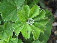 A. vulgaris, daggkåpa