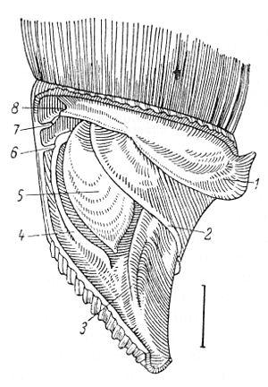 Alinda biplicata - Image: Alinda biplicata anatomy