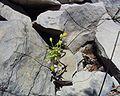 Allium flavum 08072001.JPG
