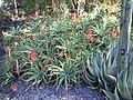 Aloe arborescens, Mt Coottha Botanical Gardens, Brisbane, Australia - panoramio.jpg