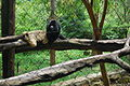Alouatta guariba couple-Gramado Zoo, Brazil.JPG