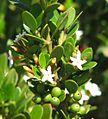 Alyxia buxifolia Loch Ard.jpg