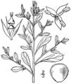 Amaranthus albus BB-1913.png