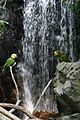 Amazona oratrix -National Aquarium -Baltimore-8b.jpg