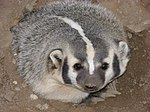 A badger, the state animal of Wisconsin