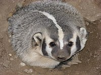 female American Badger about four years old at...