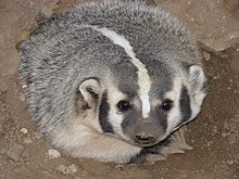 What Are the Eight Types of Badgers?