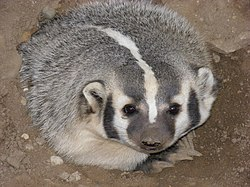 An American Badger
