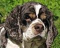 American Cocker Spaniel portrait..jpg