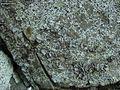 American Stippleback Lichen (4973137936).jpg
