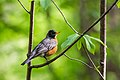 American robin (33191424423).jpg