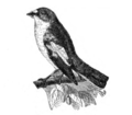Americana 1920 Pied Flycatcher.png