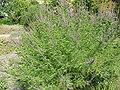 Amorpha canescens2.jpg