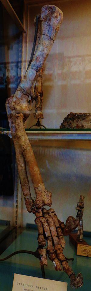 Amphimachairodus - Front limb
