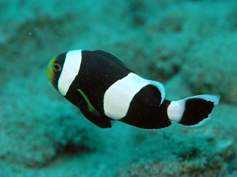File:Amphiprion Species.JPG