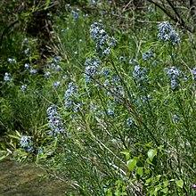 Amsonia Hubrichtii Blue Star