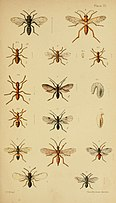 An elementary manual of New Zealand entomology - being an instroduction to the study of our native insects; with 21 coloured plates (1892) (21222918105).jpg