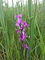 Anacamptis palustris (subsp. palustris) sl6.jpg