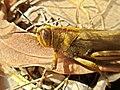 Anacridium aegyptium (Acrididae) (Egyptian Grasshopper) - (imago), Narbolia (comuni), Italy - 2.jpg