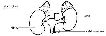 adrenal steroids wiki