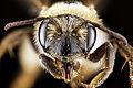 Andrena banksi f face.jpg