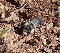 Andrena cineraria (Ashy Mining-bee) - Flickr - gailhampshire.jpg