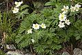 Anemone narcissiflora 33.jpg