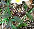 Anemone nemorosa ENBLA01.jpg