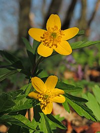 Anemone ranunculoides (33800887046).jpg