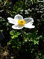 Anemone sylvestris BOGA 1.jpg