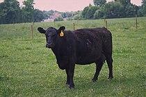 Angus cattle 10.jpg