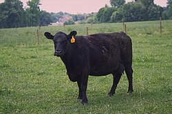 Angus cattle 10.jpg