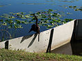 Anhinga drying its feathers.jpg