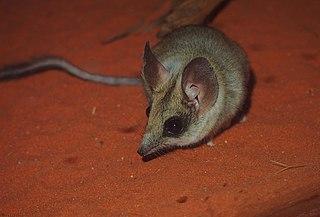 Kultarr species of mammal