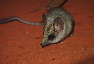 Kultarr - Image: Antechinomys laniger 2