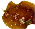 Antennarius pauciradiatus - pone.0010676.g029.png