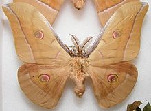 Antheraea yamamai male sjh.jpg