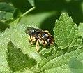 Anthidium sp. probably A. manicatum. Megachilidae (31396844993).jpg
