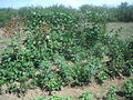 Anthur and mai-an plants.JPG