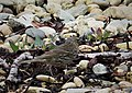 Anthus petrosus Rock Pipit (27400391399).jpg