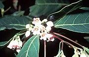 Apocynum androsaemifolium USDA