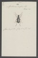 Apotomus - Print - Iconographia Zoologica - Special Collections University of Amsterdam - UBAINV0274 010 14 0018.tif