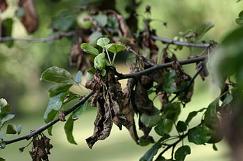 Apple tree with fire blight